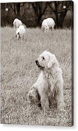 Sheepdog Acrylic Print by David  Rusch