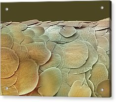 Silverfish Scales, Sem Acrylic Print by Steve Gschmeissner