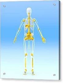 Skeleton And Ligaments, Artwork Acrylic Print by Roger Harris