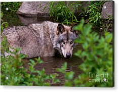 Staying Cool Acrylic Print by Michael Cummings
