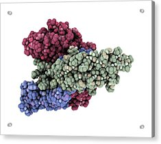 Thyroid-stimulating Hormone Molecule Acrylic Print by Laguna Design