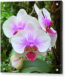 Tropical Orchids Acrylic Print by Mindy Newman
