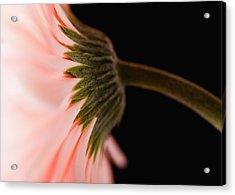 Usa, Utah, Lehi, Close-up Of Pink Daisy Acrylic Print by Mike Kemp
