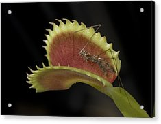 Venus Flytraps As They Consume Insects Acrylic Print by Joel Sartore