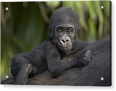 Western Lowland Gorilla Gorilla Gorilla Acrylic Print by San Diego Zoo