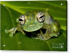 White Spotted Glass Frog Acrylic Print by Dante Fenolio