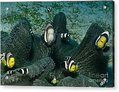 Whole Family Of Clownfish In Dark Grey Acrylic Print by Mathieu Meur