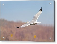 Wingspan Acrylic Print by Bill Cannon
