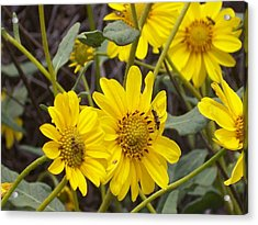 Yellow Daisy Acrylic Print by Steve Huang