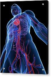 Cardiovascular System, Artwork Acrylic Print by Sciepro