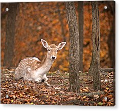 1111-7638 Fawn In Fall Acrylic Print by Randy Forrester