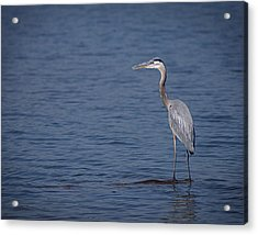 1206-9280 Great Blue Heron 1 Acrylic Print by Randy Forrester