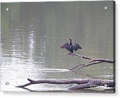 Double-crested Cormorant Acrylic Print by Jack R Brock