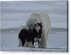 A Polar Bear Ursus Maritimus Acrylic Print by Norbert Rosing