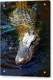 Alligator In Mississippi River Acrylic Print by Paul Ge