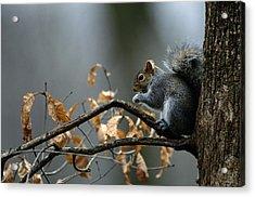 An Eastern Gray Squirrel Sciurus Acrylic Print by Chris Johns