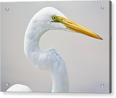 Beautiful Great White Egret Acrylic Print by Paulette Thomas