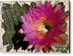 Cactus Flower  Acrylic Print by Jim and Emily Bush