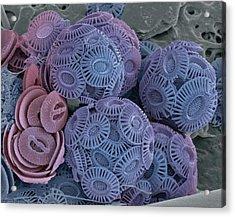 Calcareous Phytoplankton, Sem Acrylic Print by Steve Gschmeissner