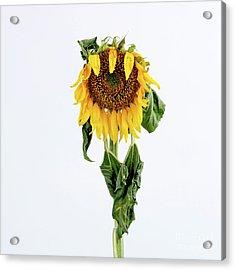 Close Up Of Sunflower. Acrylic Print by Bernard Jaubert