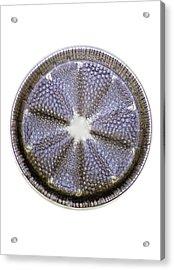 Fossil Diatom, Light Micrograph Acrylic Print by Frank Fox