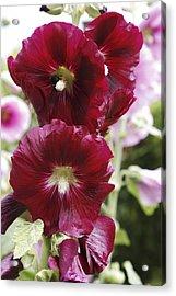Hollyhock (alcea Rosea) Acrylic Print by Dr Keith Wheeler