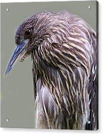 Juvenile Black Crowned Night Heron Acrylic Print by Paulette Thomas