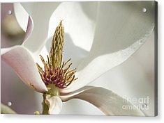 Magnolia Acrylic Print by Sophie De Roumanie
