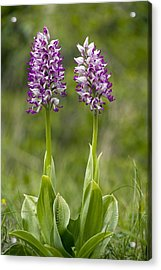 Monkey Orchid (orchis Simia) Acrylic Print by Bob Gibbons