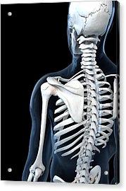 Shoulder Anatomy, Artwork Acrylic Print by Sciepro