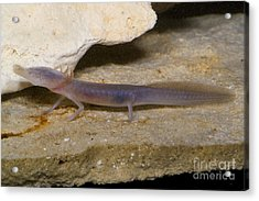Texas Blind Salamander Acrylic Print by Dante Fenolio