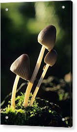 Toadstools Acrylic Print by David Aubrey