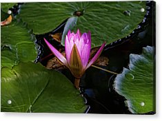 Water Lily Acrylic Print by Robert Ullmann
