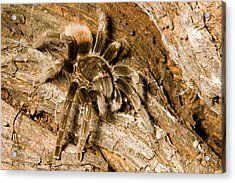 A Tarantula Living In Mangrove Forest Acrylic Print by Tim Laman