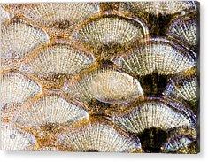 Fish Scales Background Acrylic Print by Odon Czintos