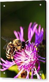Honey Bee Acrylic Print by Elena Elisseeva