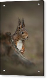 Red Squirrel Acrylic Print by Andy Astbury