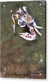 Spotted Porcelain Crab Feeding Acrylic Print by Steve Jones