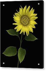 Sunflower Acrylic Print by Deddeda