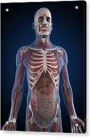 Male Anatomy, Artwork Acrylic Print by Sciepro