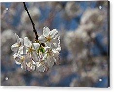Cherry Blossoms Acrylic Print by Robert Ullmann