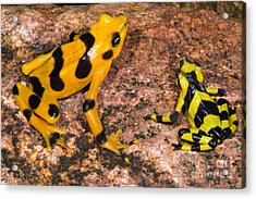 Harlequin Toad Acrylic Print by Dante Fenolio