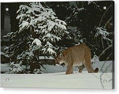 A Mountain Lion, Felis Concolor Acrylic Print by Jim And Jamie Dutcher