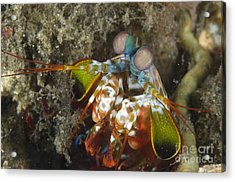Close-up View Of A Mantis Shrimp, Papua Acrylic Print by Steve Jones