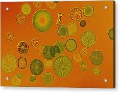 Close View Of Diatoms Acrylic Print by Darlyne A. Murawski