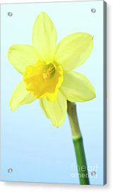 Daffodil (narcissus Sp.) Acrylic Print by Lawrence Lawry