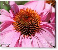 Echinacea Purpurea Or Purple Coneflower Acrylic Print by J McCombie