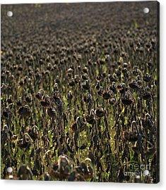 Field Of Sunflowers Acrylic Print by Bernard Jaubert