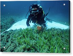 Invasive Seaweed Control Acrylic Print by Alexis Rosenfeld