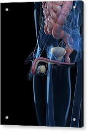 Male Reproductive System, Artwork Acrylic Print by Sciepro
